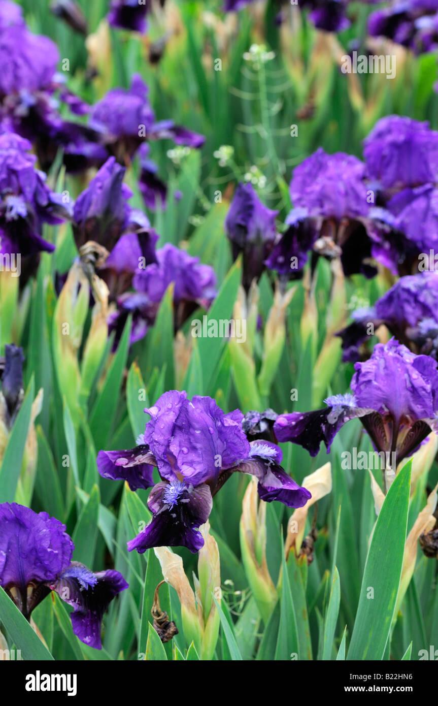 Iris germanica iris pumilla atroviolacea german iris aka - Iris germanica ...