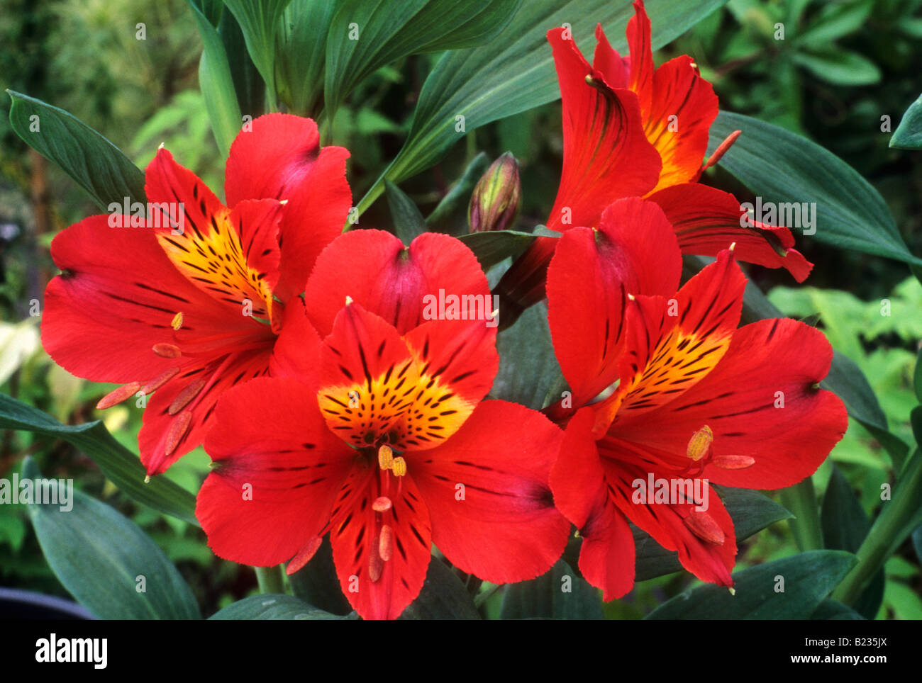 Alstroemeria Moulin Rouge red flower garden plant Stock Roya