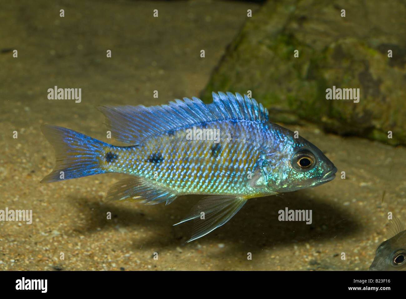 Fish for vertical aquarium - Copadichromis Azureus Mbenji Malawi Lake Cichlid Africa Fish Fishes Aquarium Aquaria Vertical Freshwater Roberto Nistri