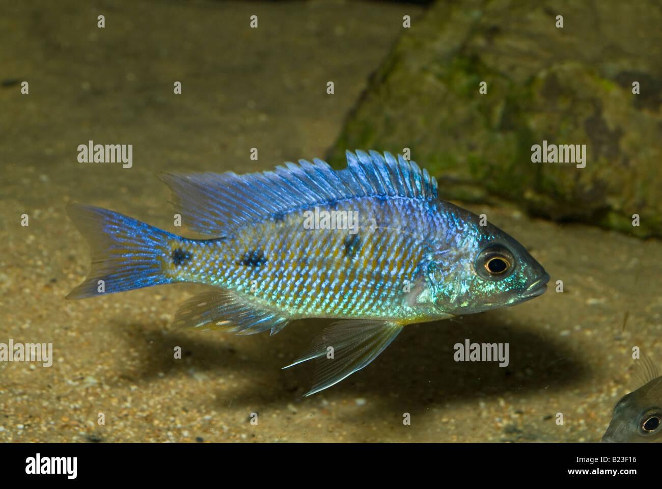 Fish for vertical aquarium - Copadichromis Azureus Mbenji Malawi Lake Cichlid Africa Fish Fishes Aquarium Aquaria Vertical Freshwater Roberto Nistri
