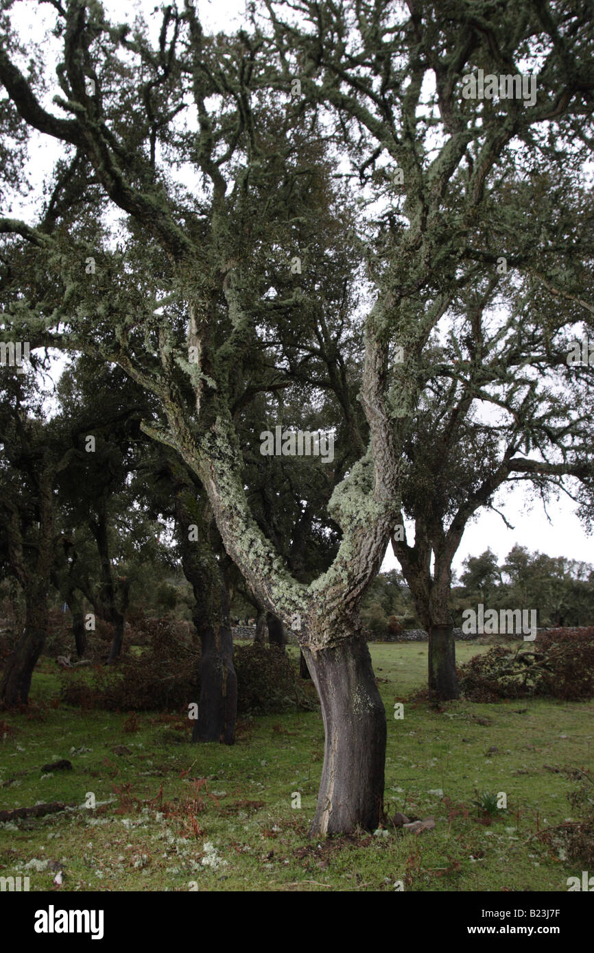 The cork oak quercus suber is a medium sized evergreen for Small sized evergreen trees