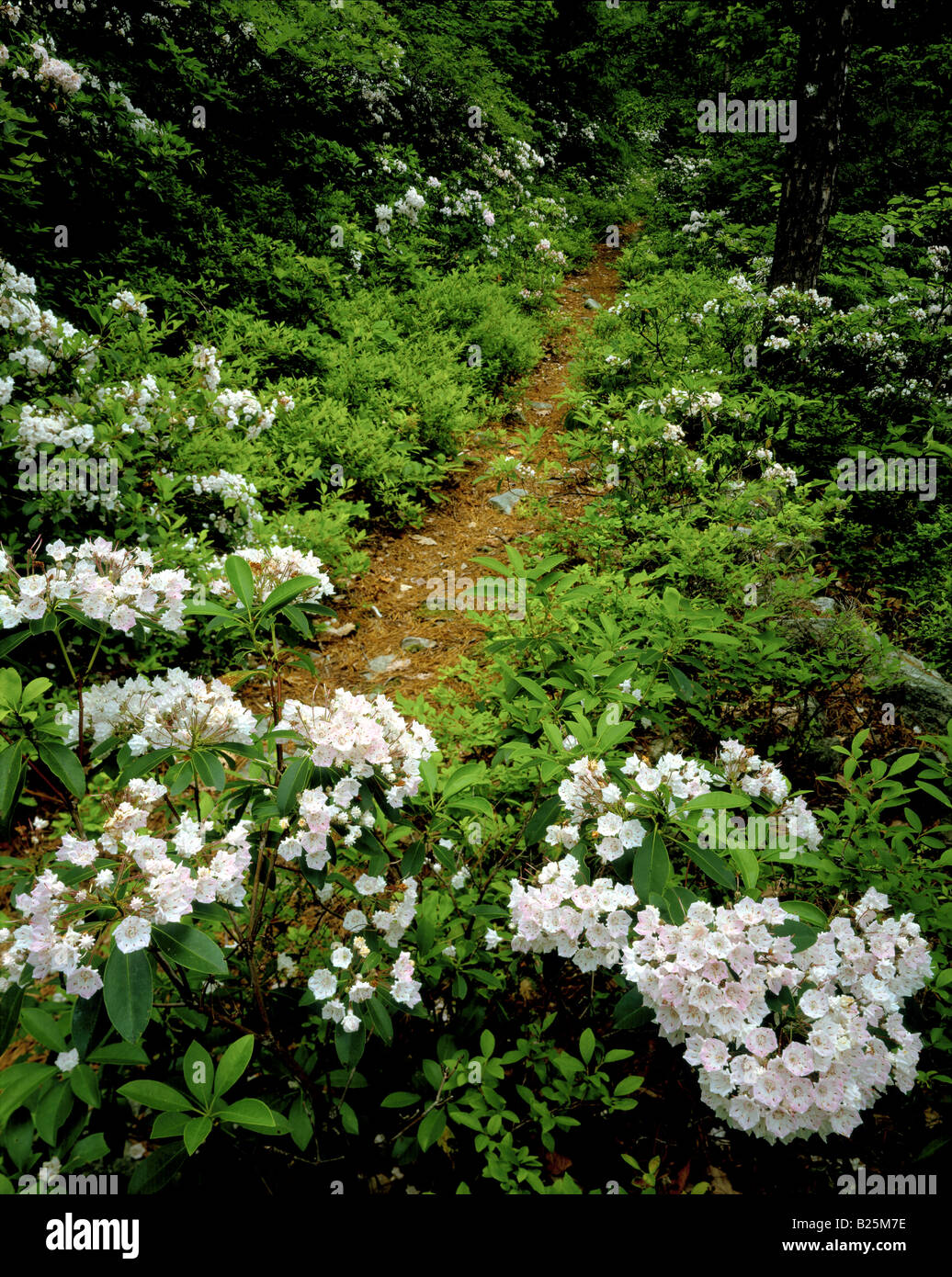 Mountain Laurel, Pennsylvania State Flower, Cowans Gap State Park  Stock  Image