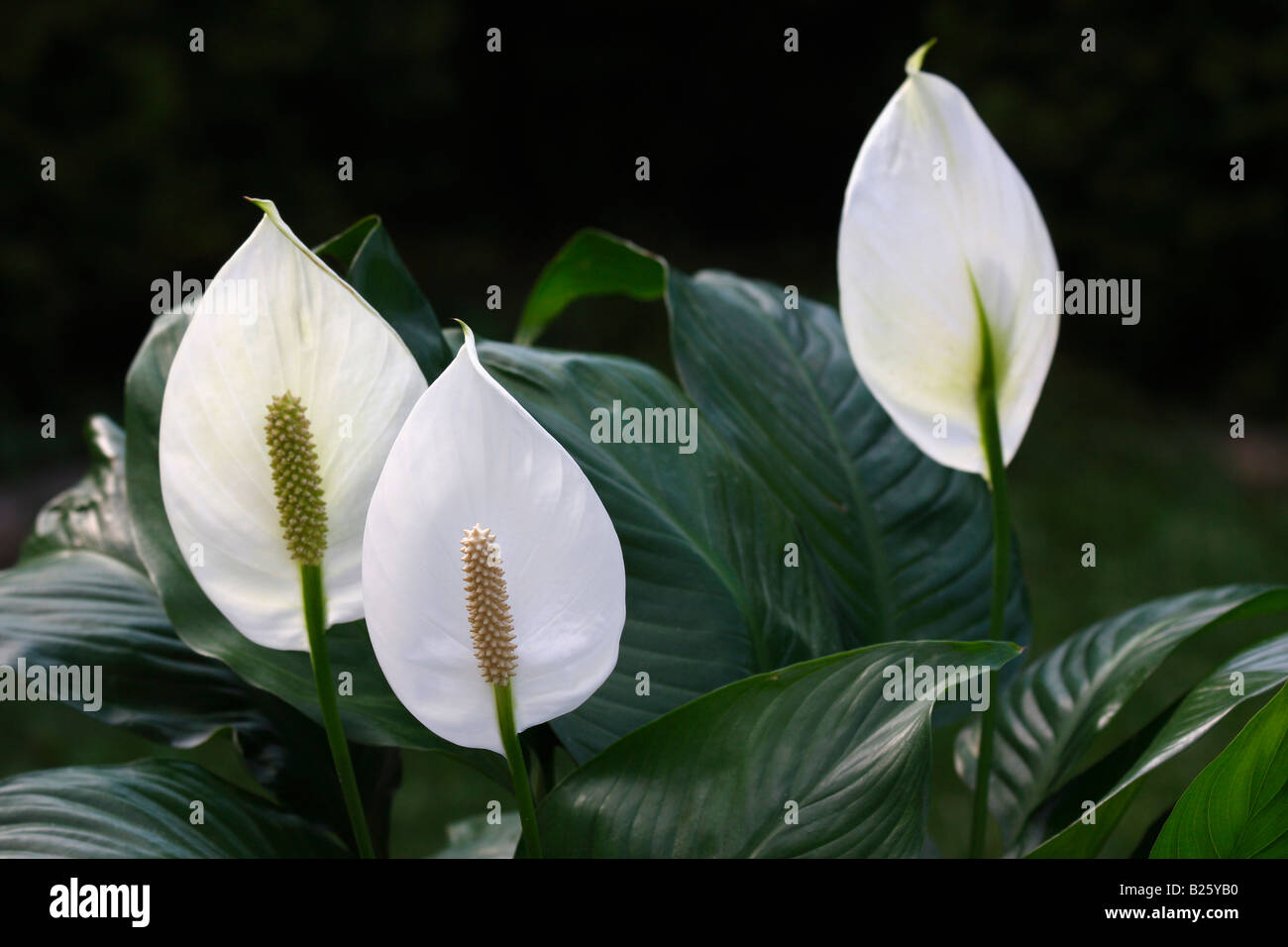 White Peace Lily Spathiphyllum Flowers Houseplants Close Up Closeup No Not  People Nobody Display Isolated In USA