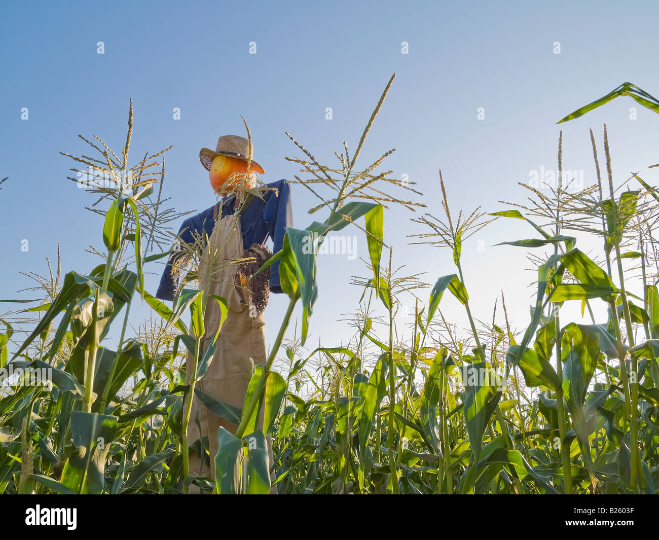 Scarecrows In A Cornfield