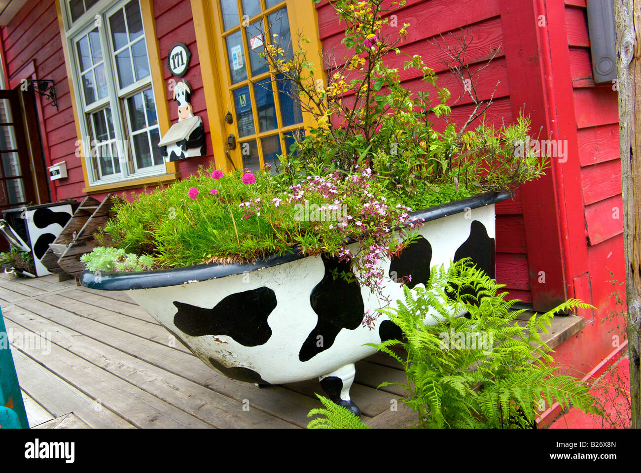 Funky Cow Theme Decor On Old Claw Foot Bathtub Flower Planter In Front Of  Store In Cow Bay In Prince Rupert