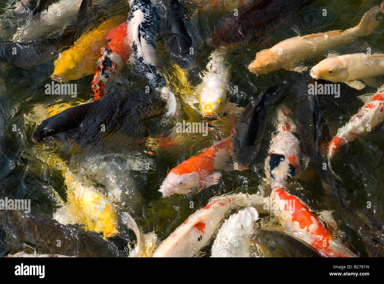 Group of colorful japanese koi fish swimming and splashing for Colorful pond fish
