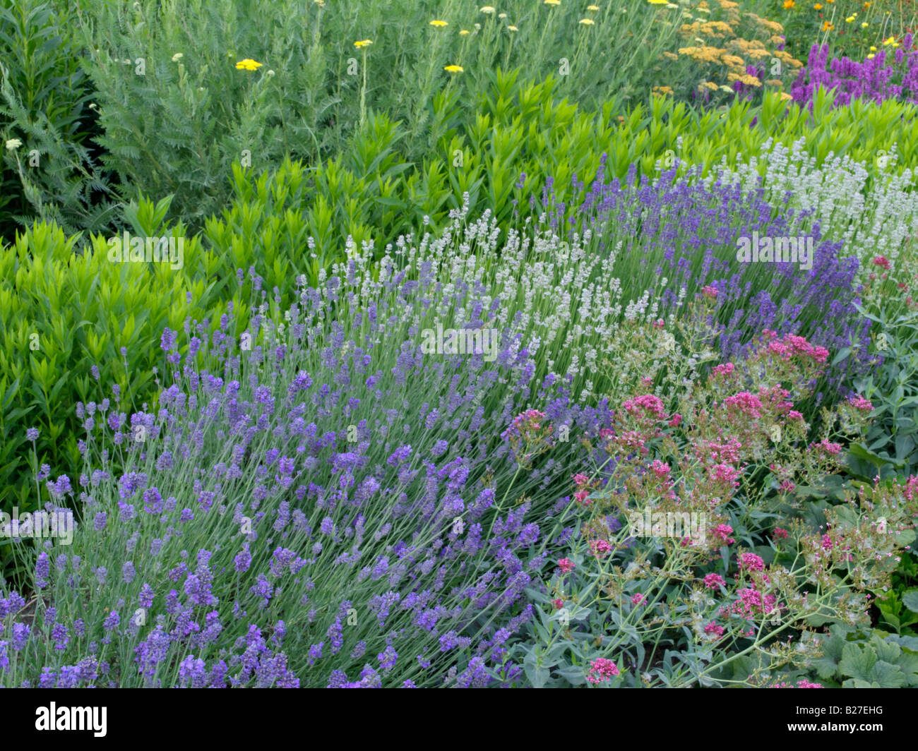 Plants for flower beds - Common Lavender Lavandula Angustifolia Munstead And Lavandula Angustifolia Edelweiss And