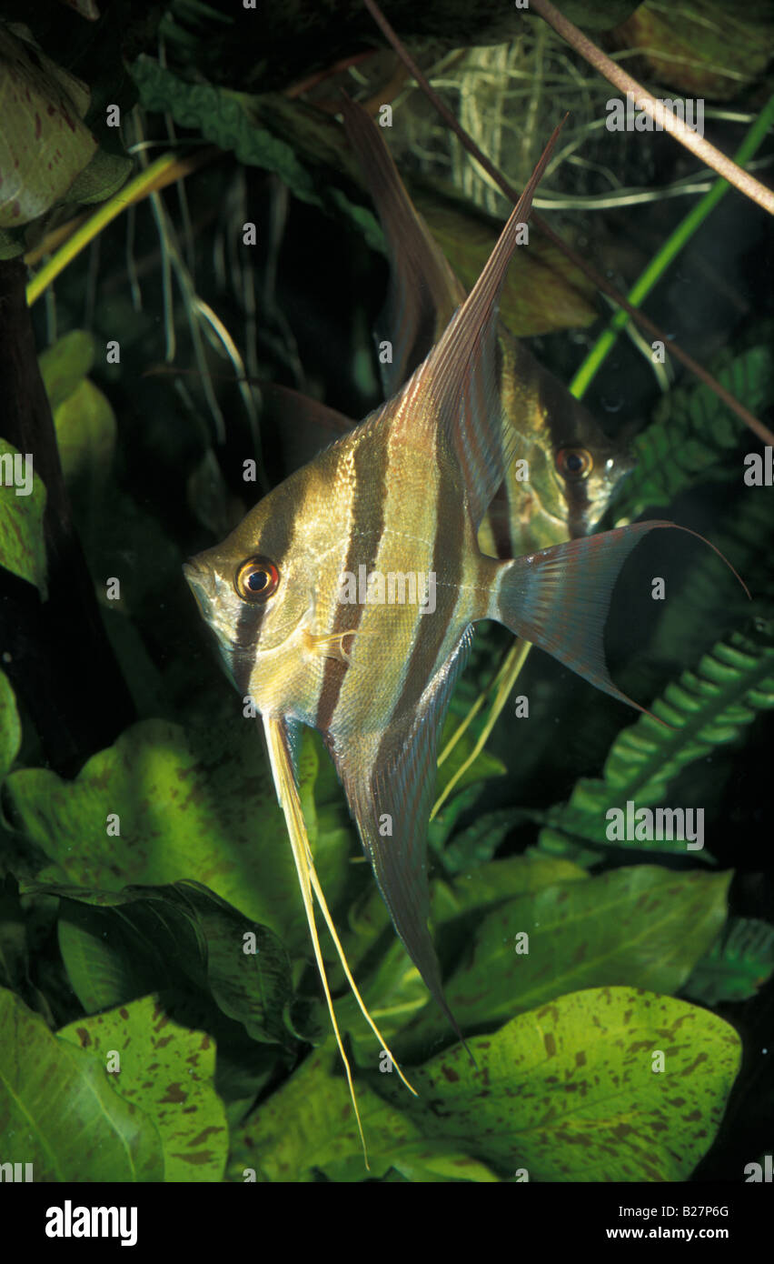 Fish for vertical aquarium - Pterophyllum Altum Deep Angel Fish South America Cichlid Fishes Animal Animals Freshwater Vertical Aquarium Aquaria