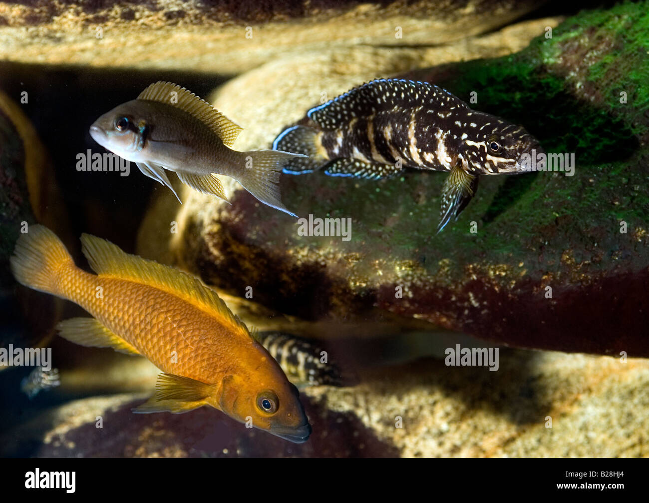 Freshwater aquarium fish gobiidae - Tanganika Lake Biotope Aquarium Freshwater Cichlid Of Tanganika Lake Africa Stock Image