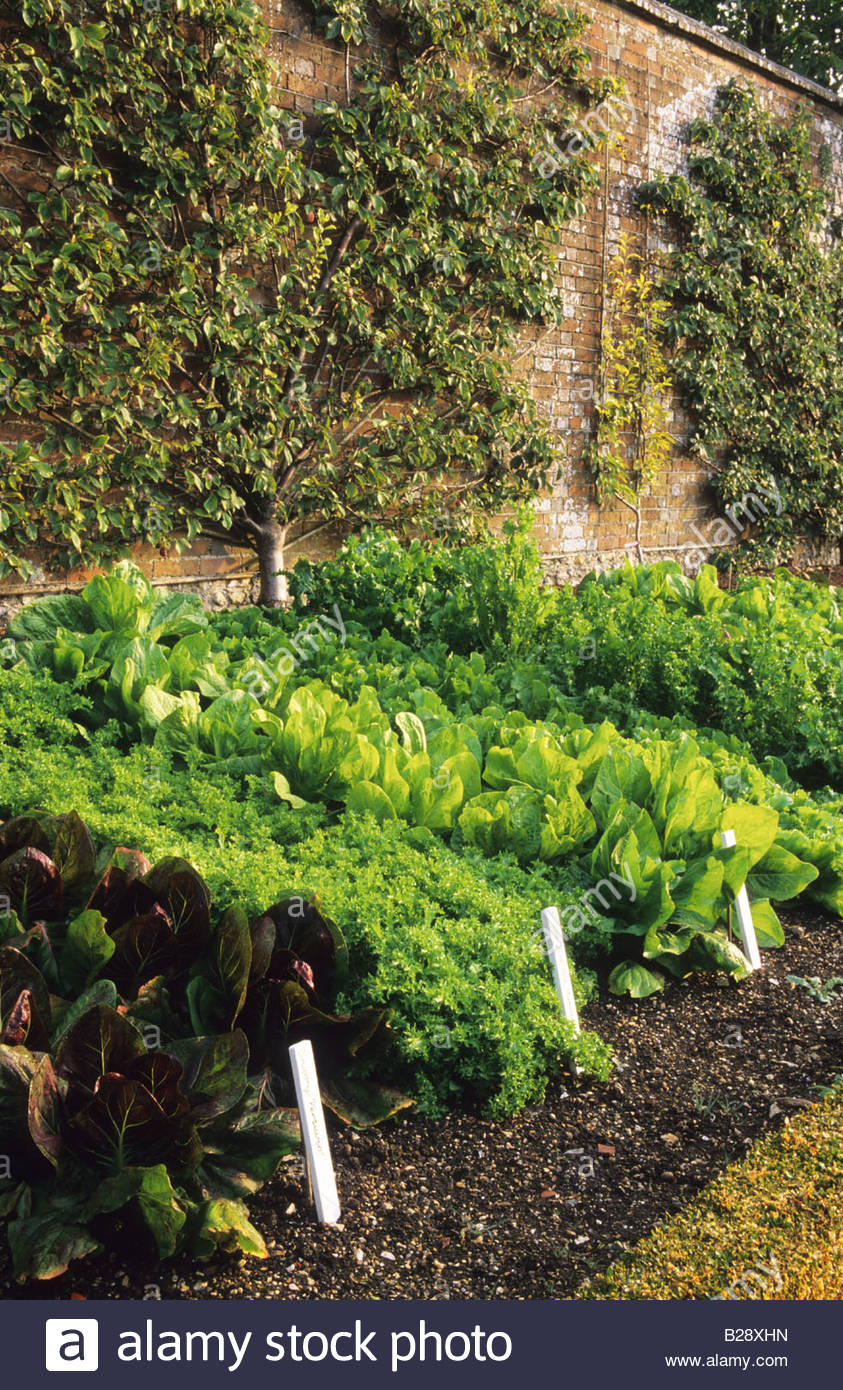 Vegetable garden rows - Stock Photo West Dean Sussex Walled Vegetable Garden Rows Of Salad Crops In Autumn With Fan Trained Fruit Trees