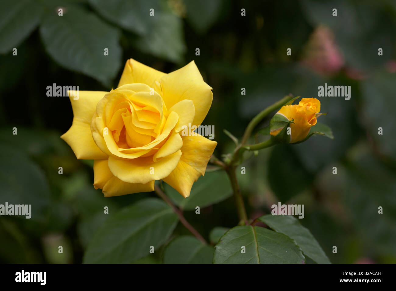 golden gate medium yellow hybrid tea english rose. Black Bedroom Furniture Sets. Home Design Ideas