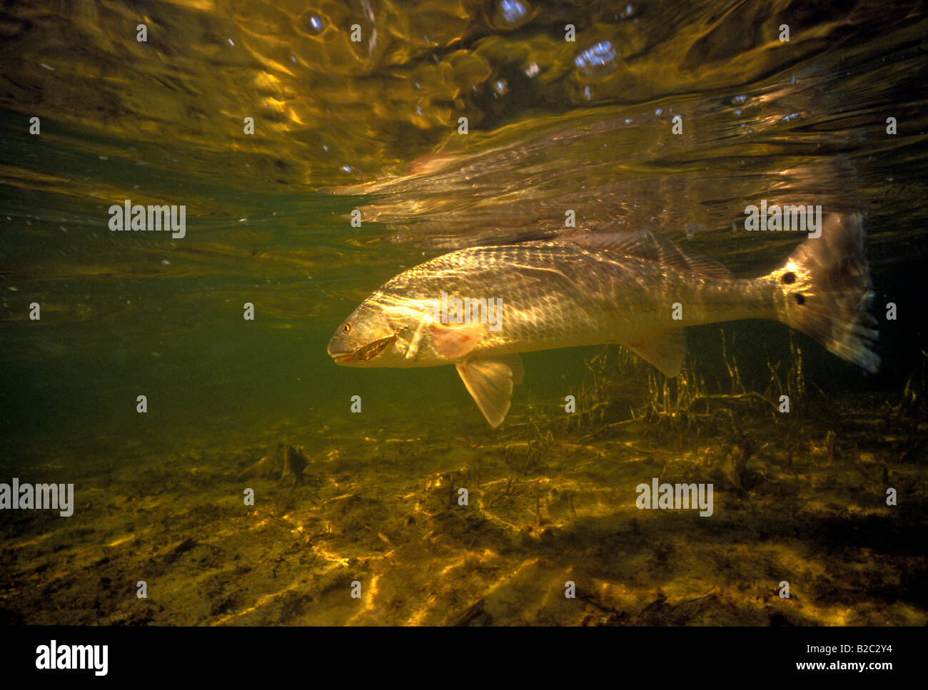 Red drum redfish underwater gamefish portrait closeup for Red saltwater fish