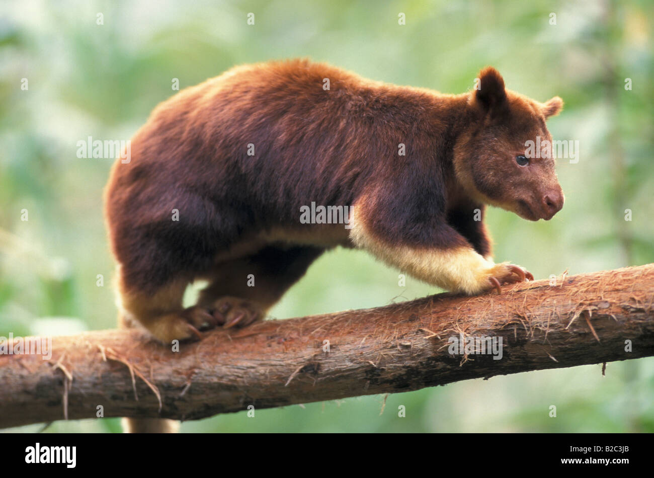goodfellows tree kangaroo dendrolagus goodfellowi buergersi adult on a branch of