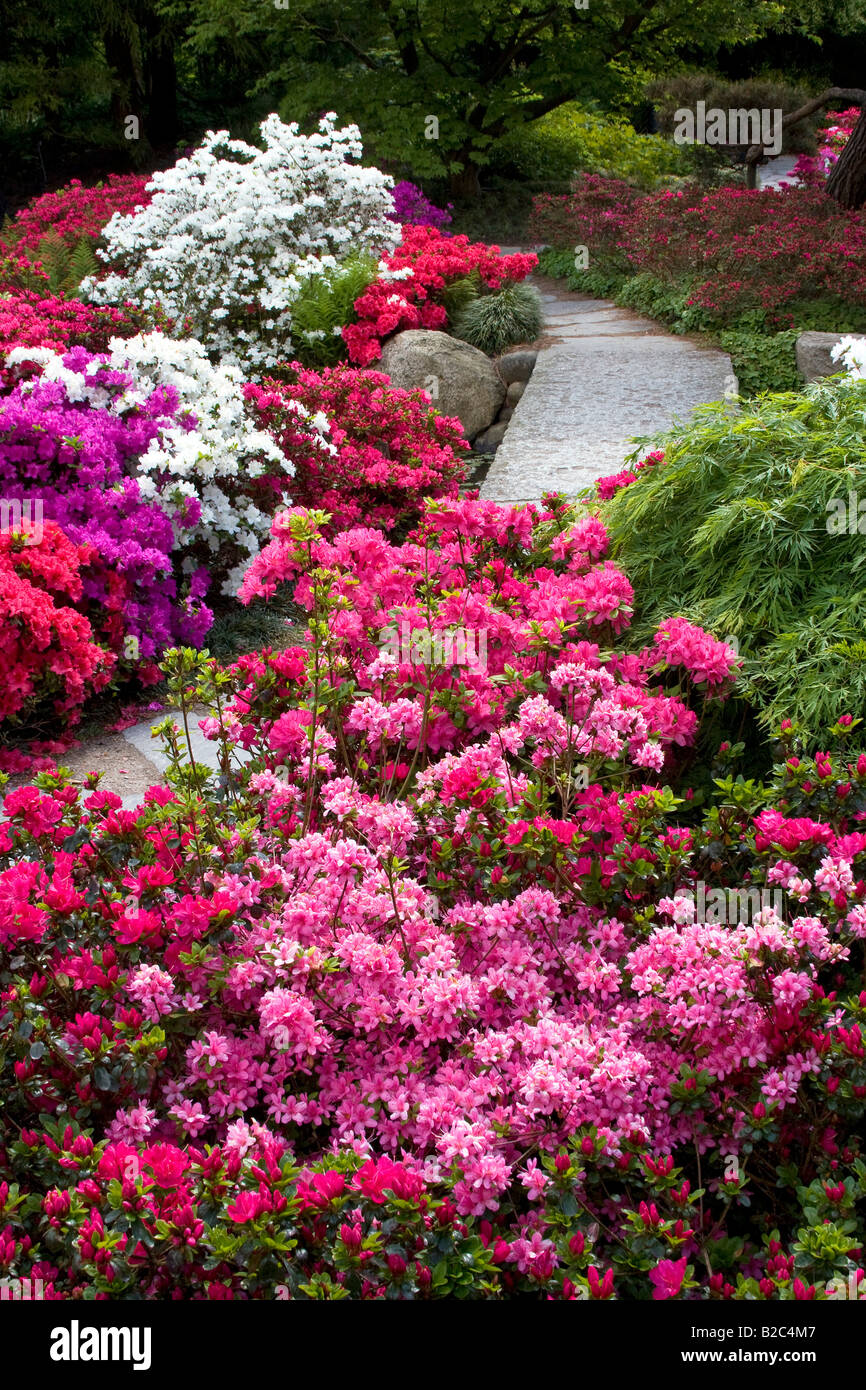 Rhododendrons, Azaleas (rhododendron Spec.) Japanese