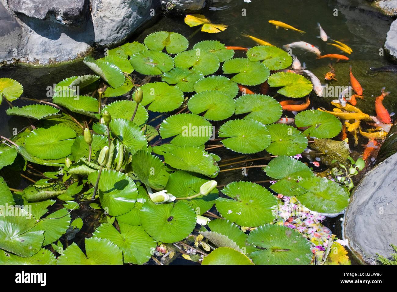 Lily pad lotus flower and koi carp fish swimming in a for Koi fish pond lotus