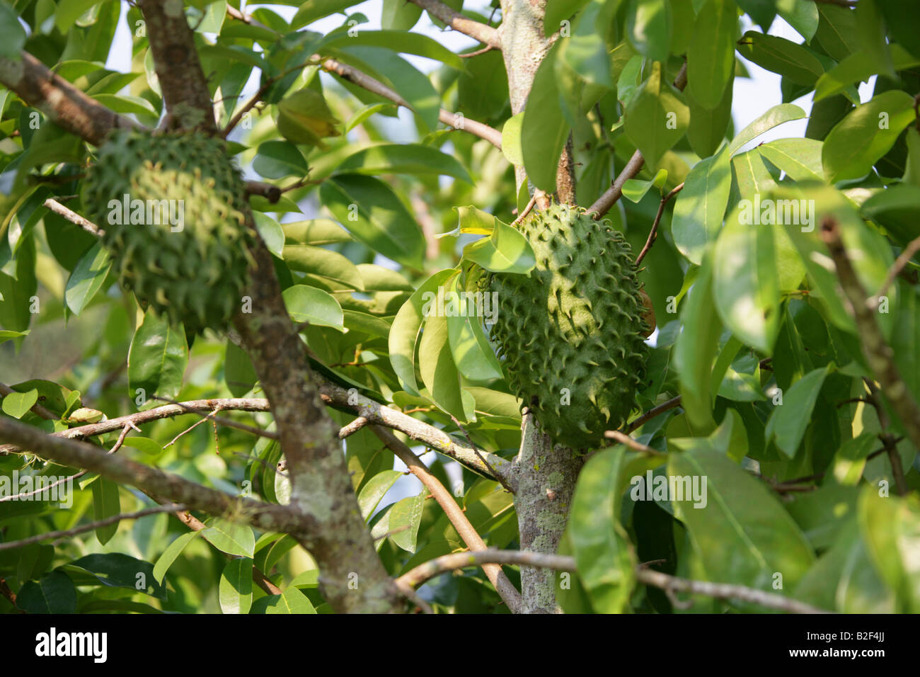 Fruit of the Soursop Tree, Annona muricata. Palenque ...