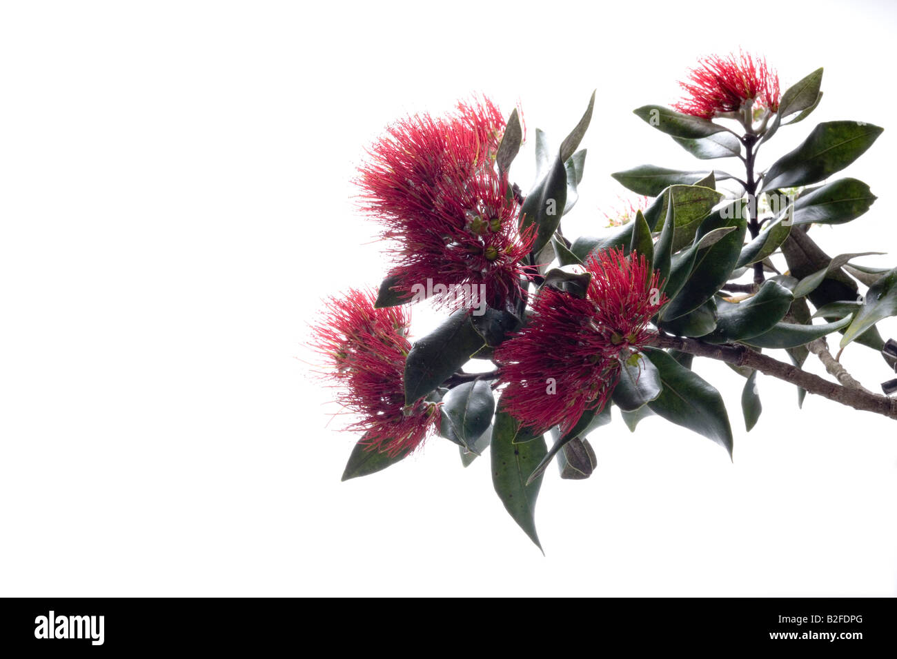 Pohutakawa blossom nz christmas xmas symbol nz new zealand stock pohutakawa blossom nz christmas xmas symbol nz new zealand biocorpaavc