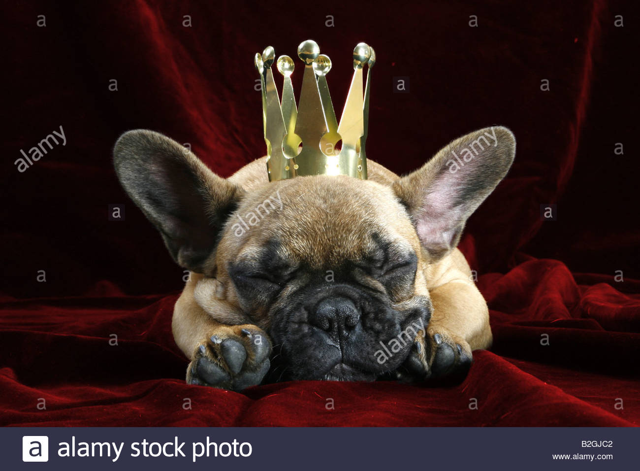 king crone droll french bulldog frenchie bully bouledogue francais stock phot. Black Bedroom Furniture Sets. Home Design Ideas