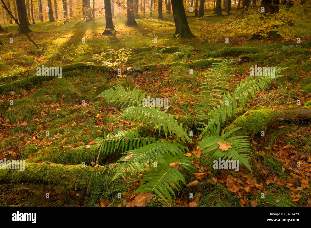 autumn forest leaves fall foliage Schwaebische Alb Germany autumnal ...