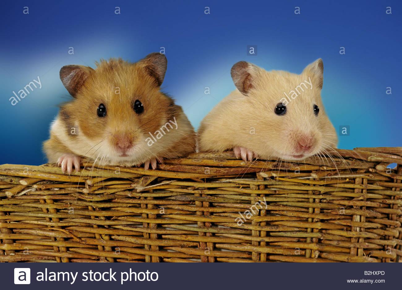 Golden hamster white - photo#21