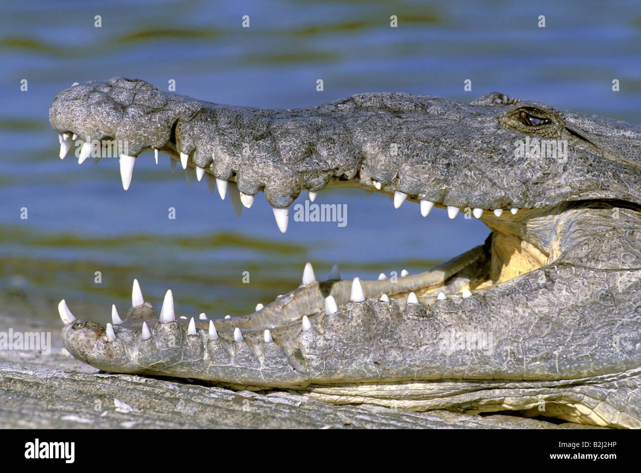 H P Reptiles zoology  animals  reptiles