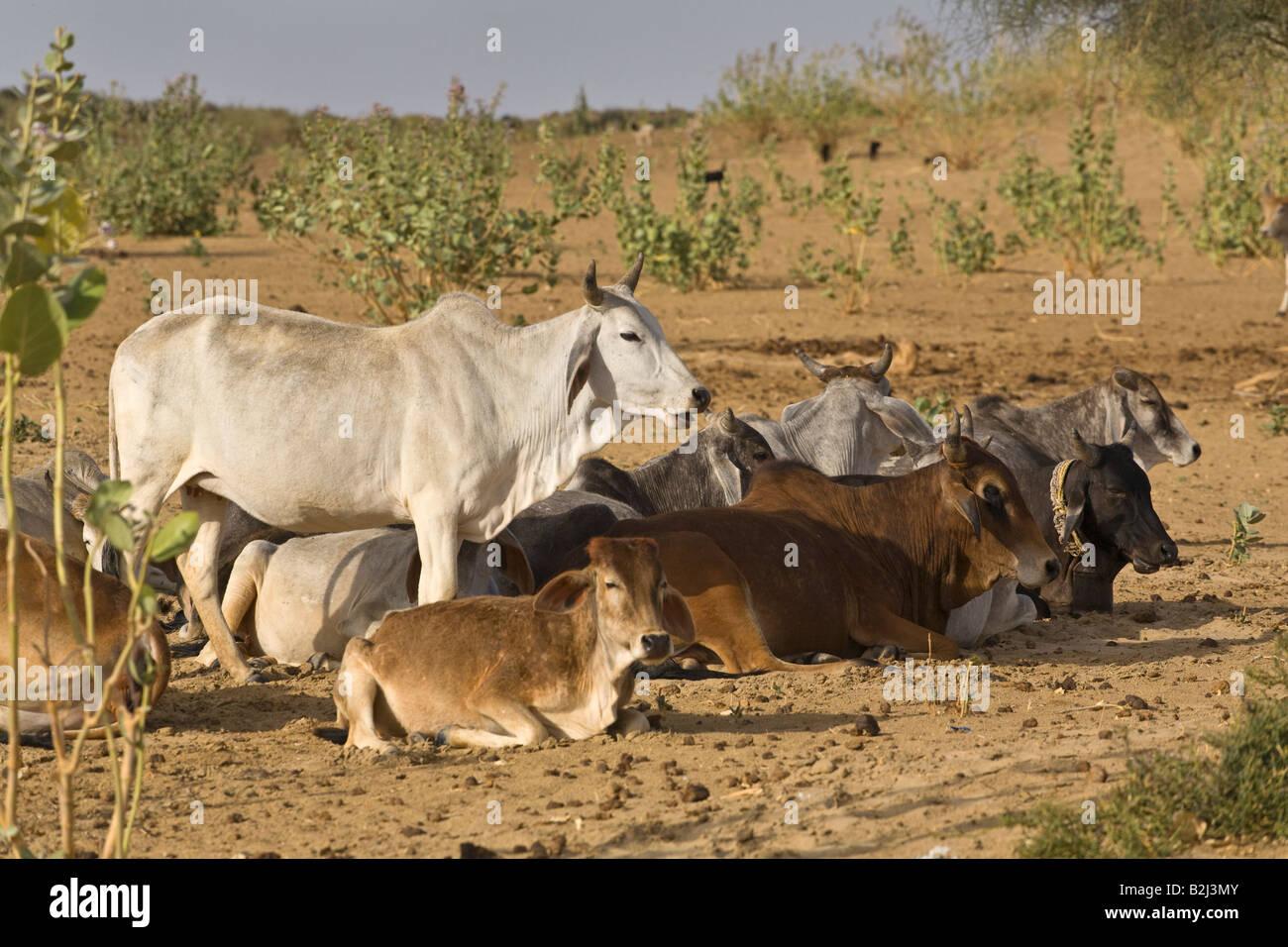 BRAHMAN CATTLE in the THAR DESERT near JAISALMER RAJASTHAN ...