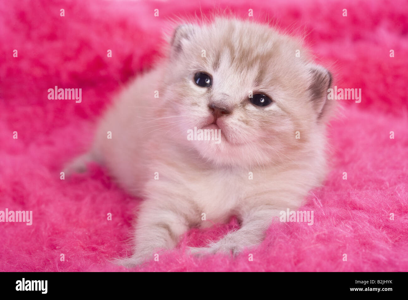 Adorable kitten lying on hot pink furry background Stock