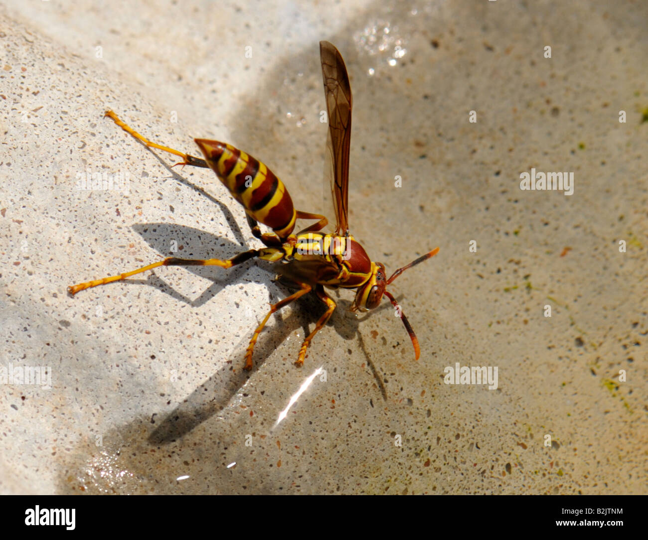 striped paper wasp
