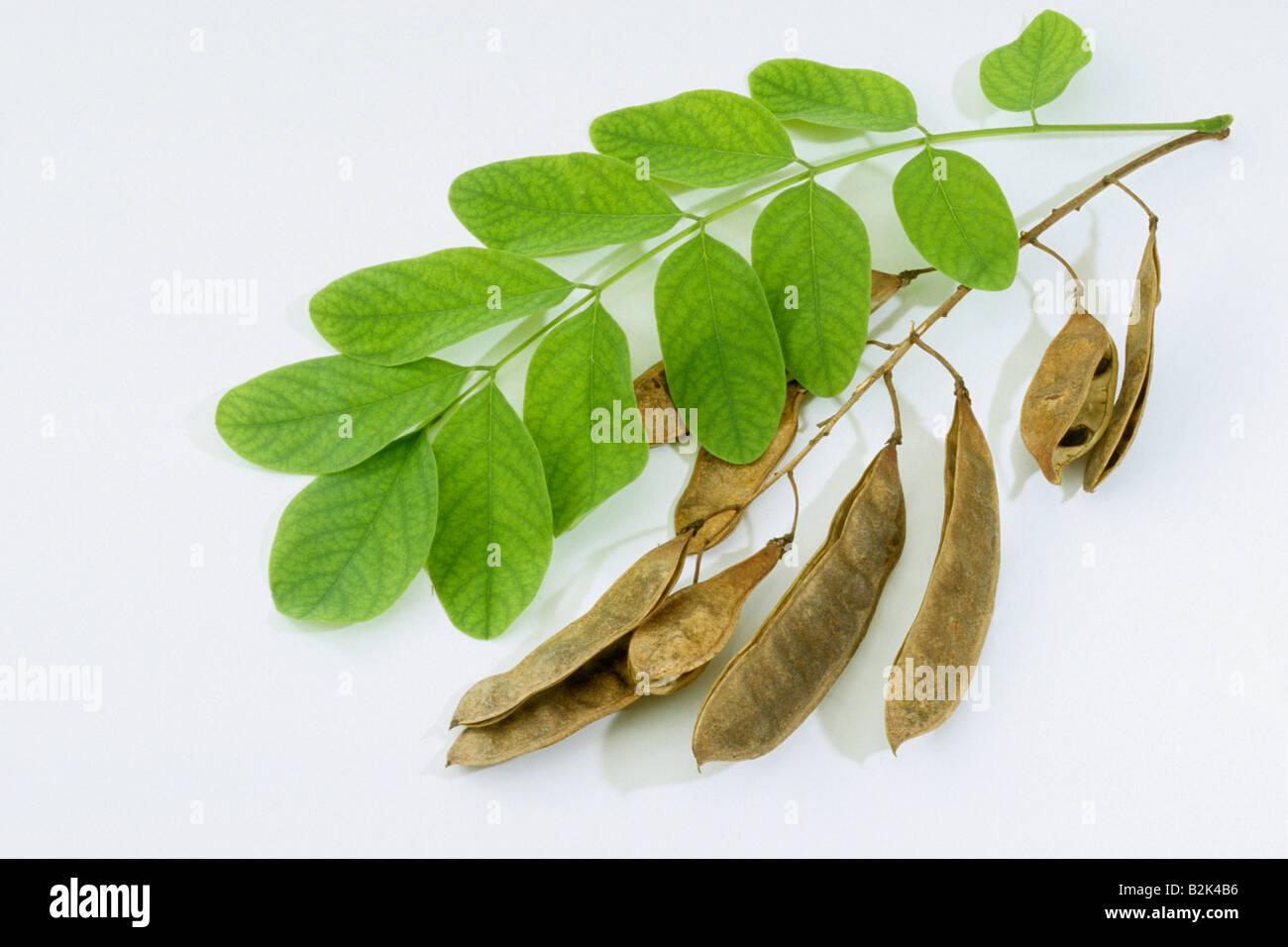 Robinia Pseudoacacia Leaf