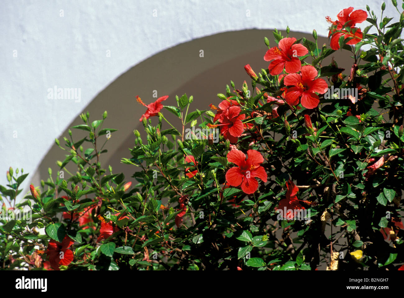 Panarea Italy  city photos : Hibiscus Flowers, Aeolian Panarea, Italy Stock Photo, Picture And ...