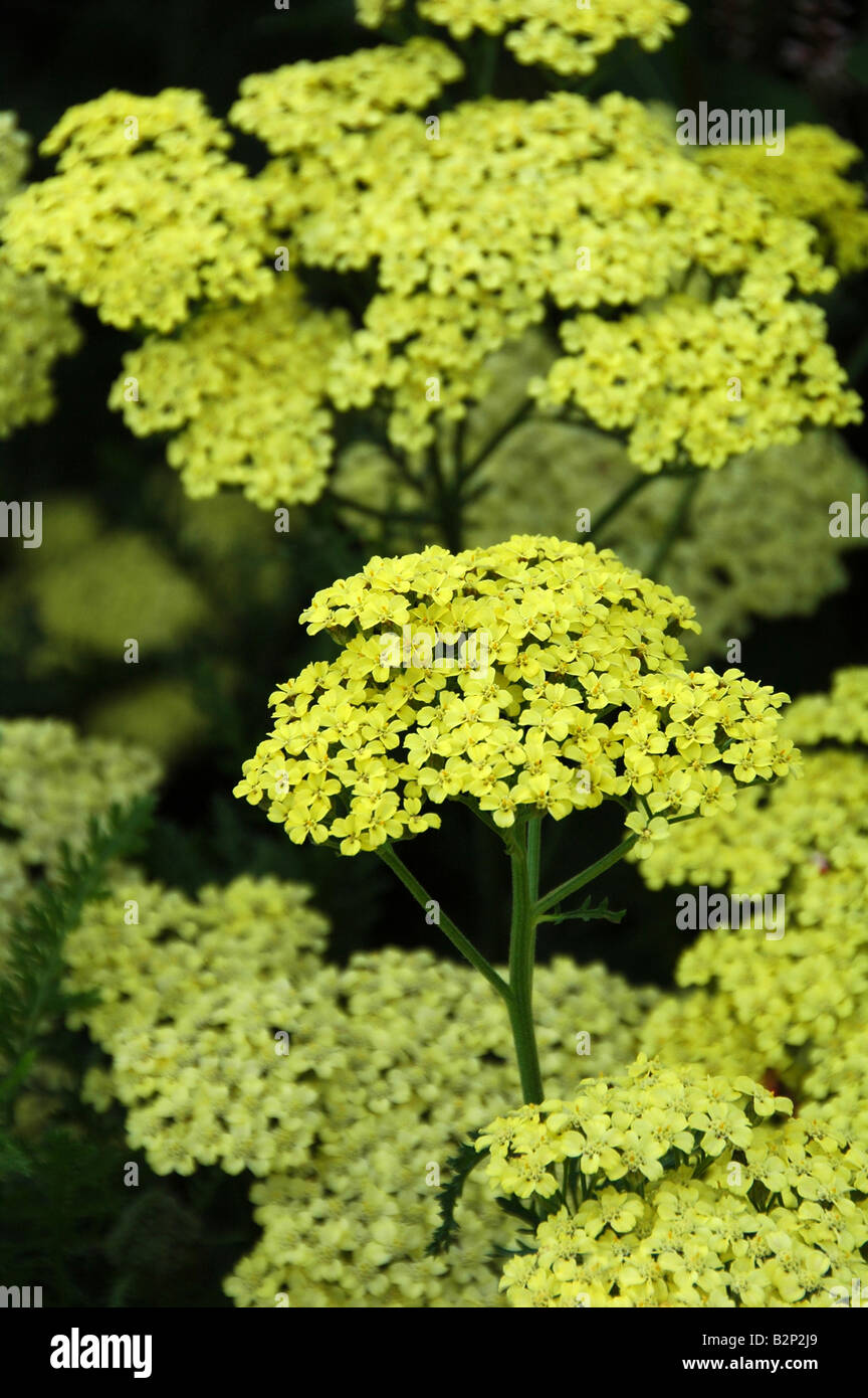 Yellow flowered perennial for herbaceous border summer flowering stock photo yellow flowered perennial for herbaceous border summer flowering over long flowering period dhlflorist Image collections