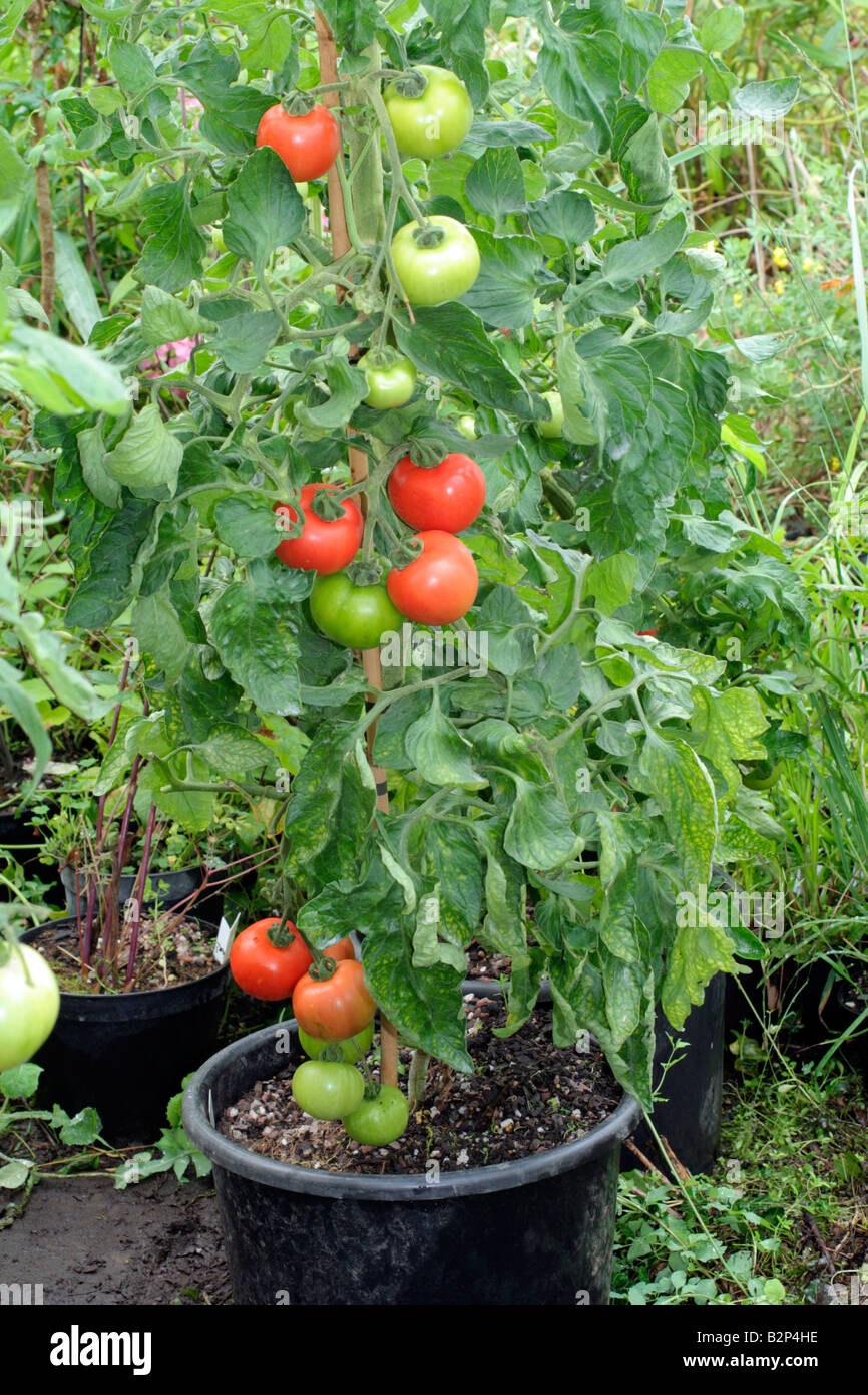 Growing cherry tomatoes in pots - Solanum Lycopersicum Container Grown Tomato Plant 20 Litre Pot Variety Ferline Stock Image