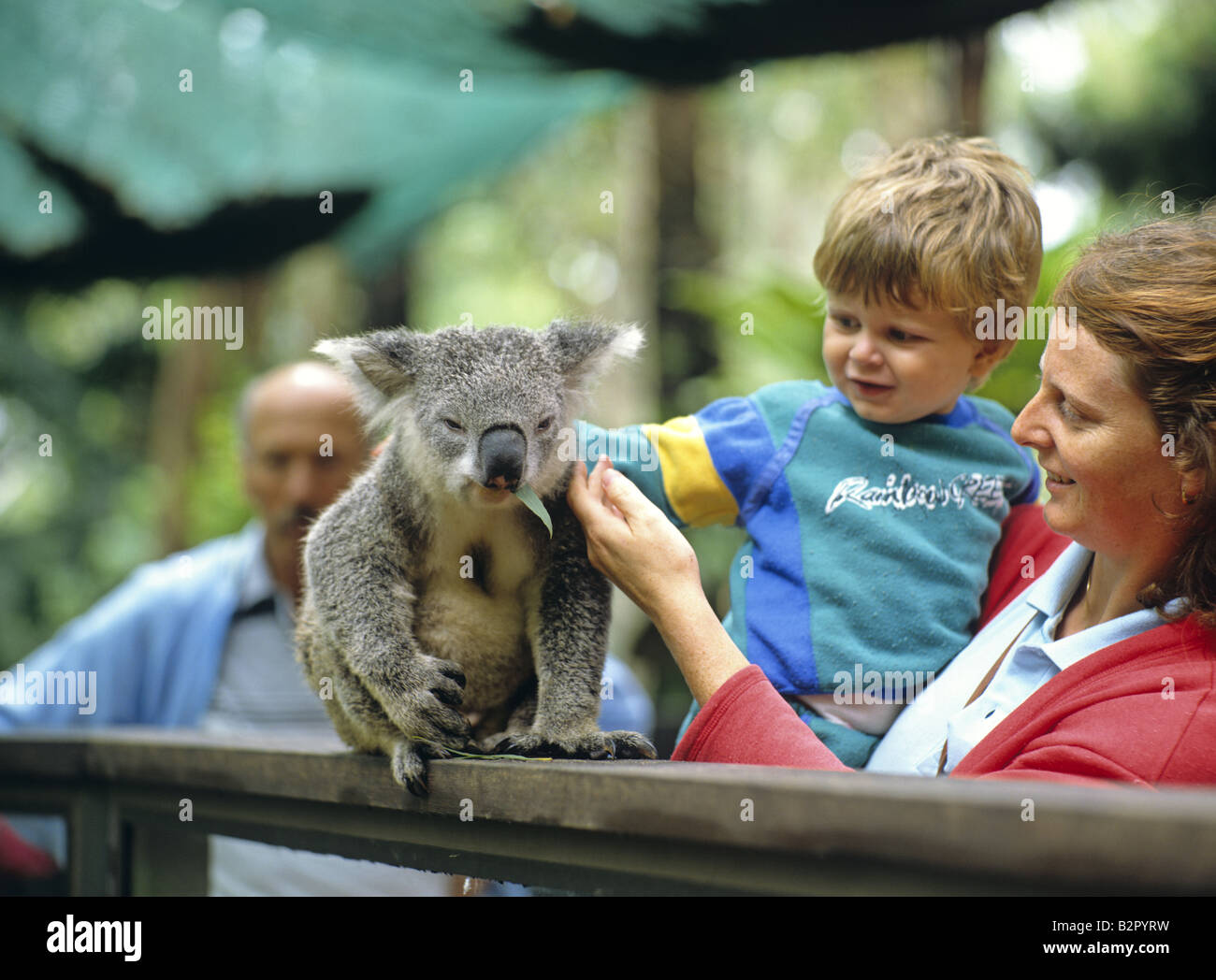 a koala and tourists at koala park sydney new south wales. Black Bedroom Furniture Sets. Home Design Ideas