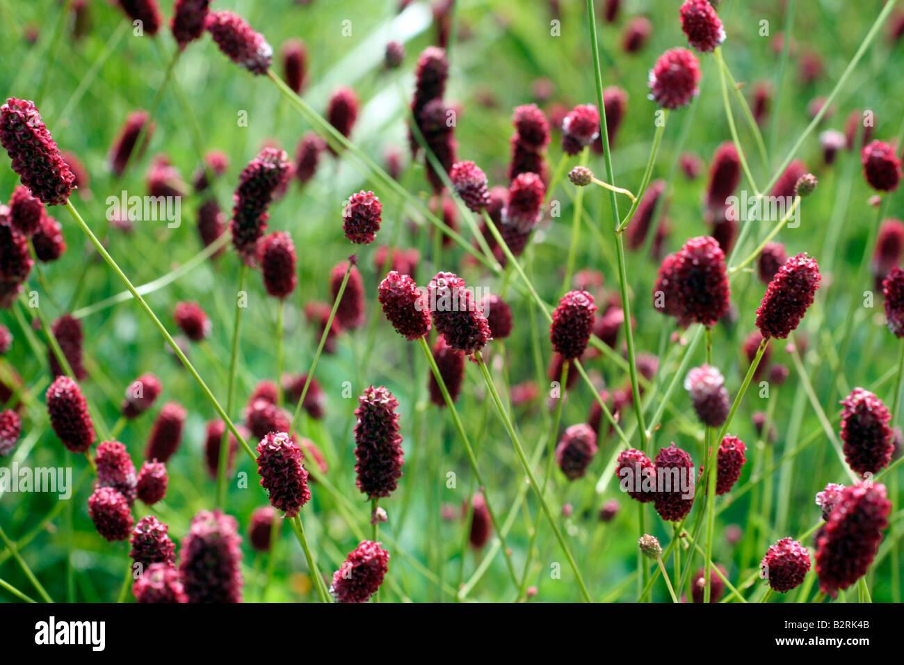 sanguisorba officinalis red thunder stock photo royalty