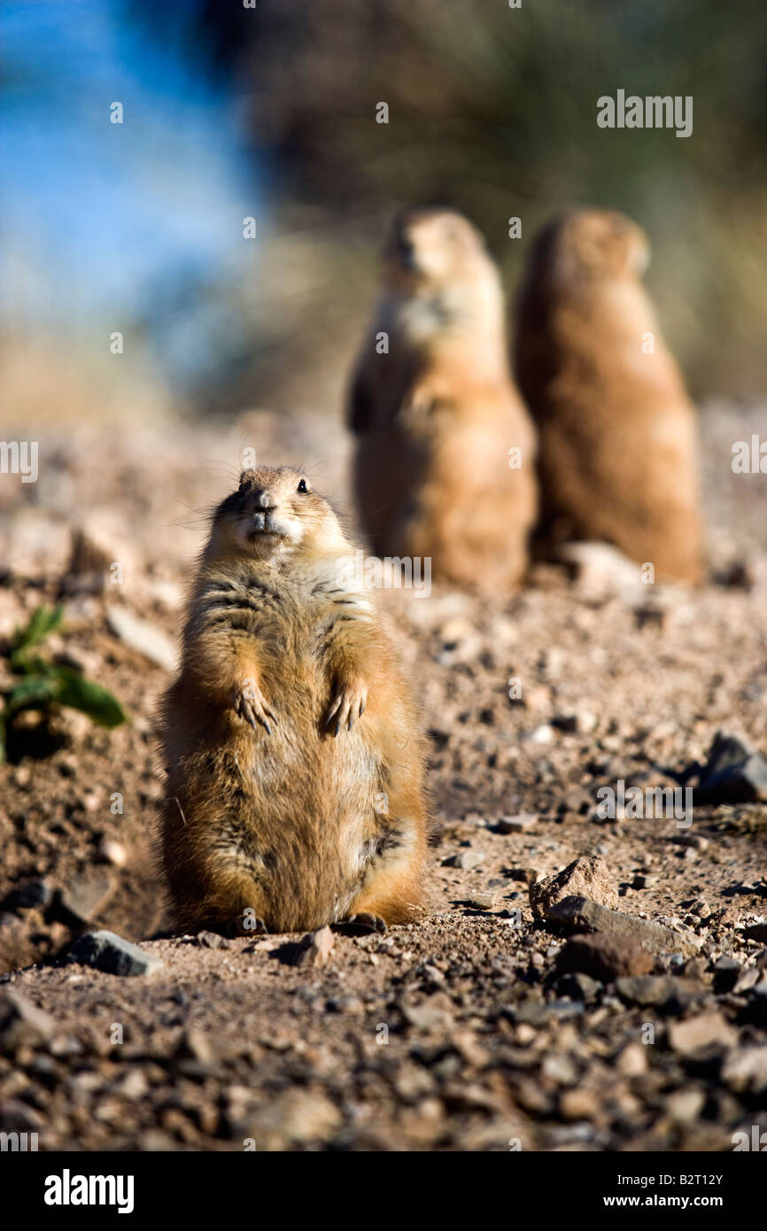 Blacktailed Prairie Dogs Sitting Up Arizona Sonora Desert Museum - Black museums in usa