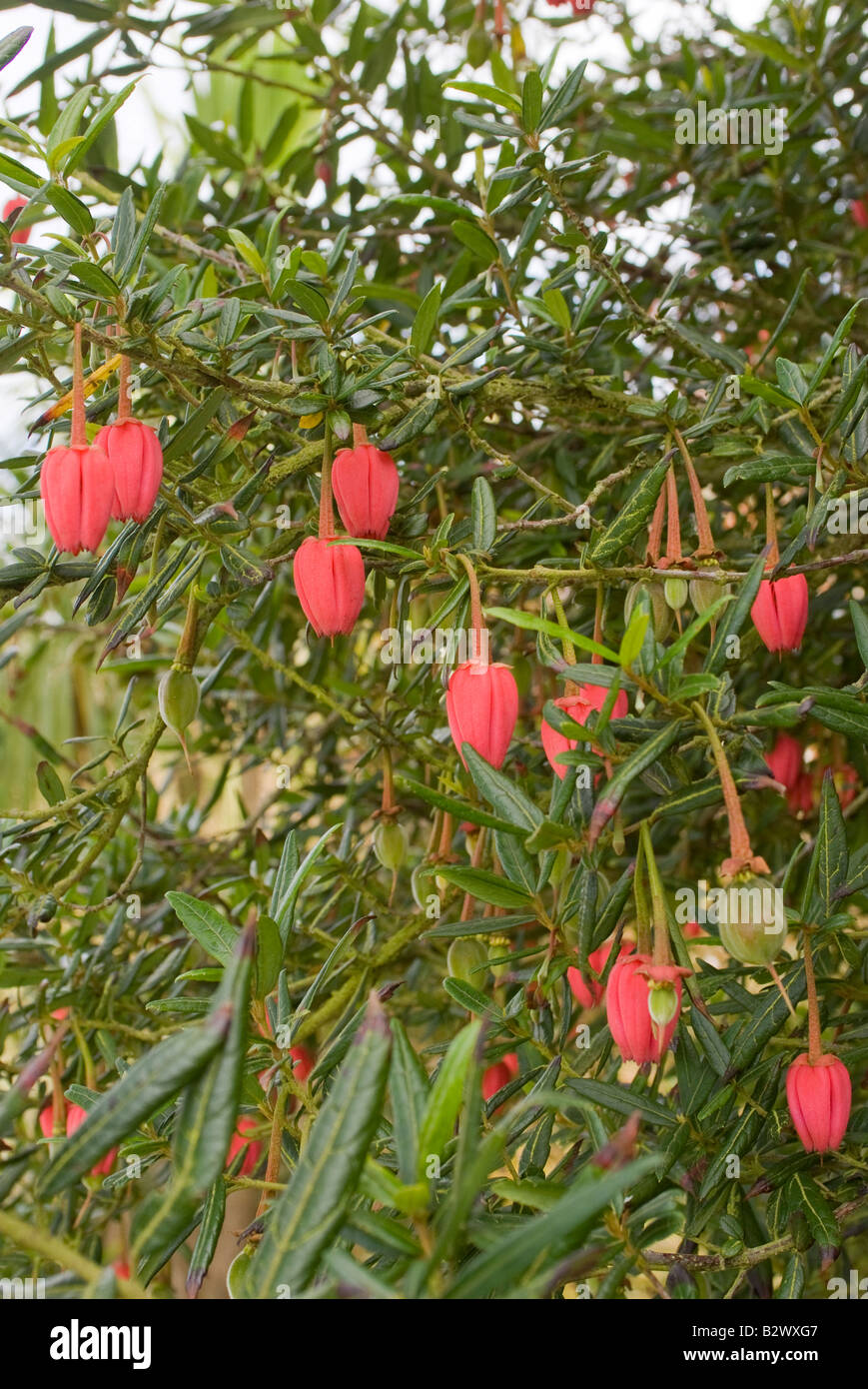 Red flowers of the crinodendron hookerianum or lantern for Garden trees scotland