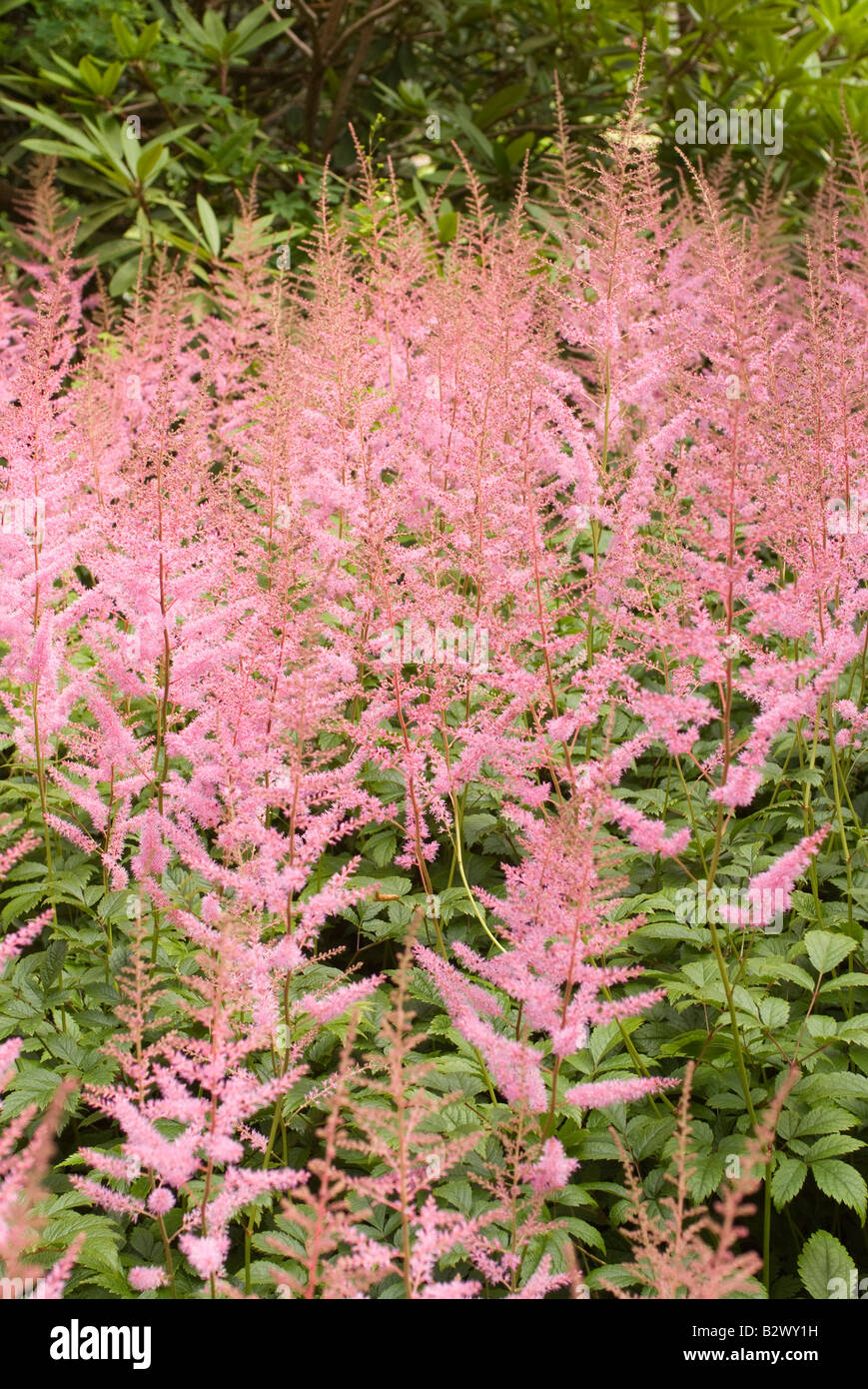 Pleasing Wispy Pink Astilbe Chinensis Flowers At Logan Botanic Garden  With Foxy Stock Photo  Wispy Pink Astilbe Chinensis Flowers At Logan Botanic Garden  Dumfries And Galloway Scotland United Kingdom With Divine Design Your Garden Software Also Overgrown Garden In Addition Bonnies Oak Garden Centre And Mark And Spencer Covent Garden As Well As Fairfield Garden Guest House Additionally Gardens In Cambridgeshire From Alamycom With   Foxy Wispy Pink Astilbe Chinensis Flowers At Logan Botanic Garden  With Divine Stock Photo  Wispy Pink Astilbe Chinensis Flowers At Logan Botanic Garden  Dumfries And Galloway Scotland United Kingdom And Pleasing Design Your Garden Software Also Overgrown Garden In Addition Bonnies Oak Garden Centre From Alamycom