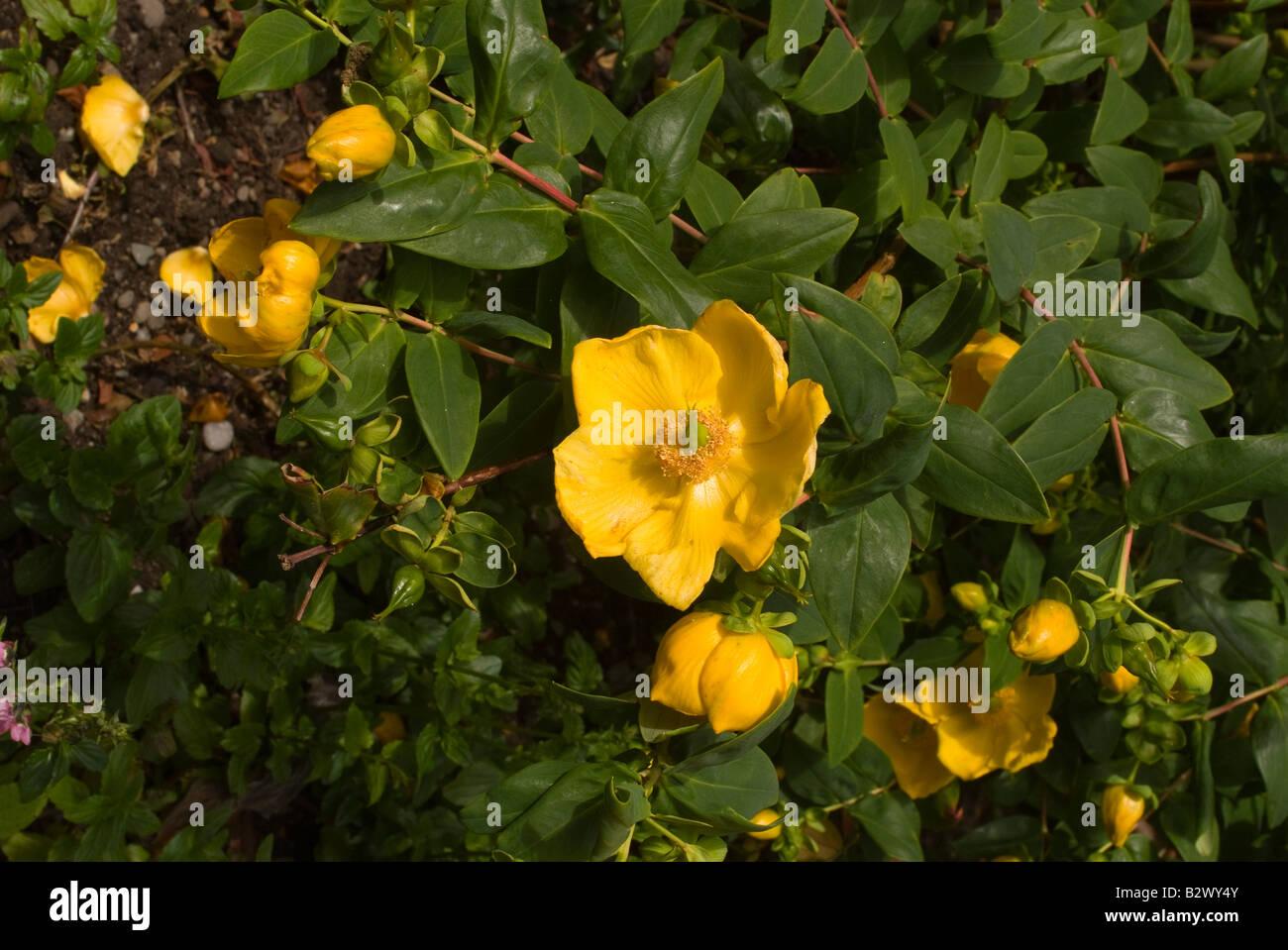 Yellow flowers of hypericum rowallane shrub in logan botanic stock photo yellow flowers of hypericum rowallane shrub in logan botanic garden dumfries and galloway scotland united kingdom dhlflorist Gallery