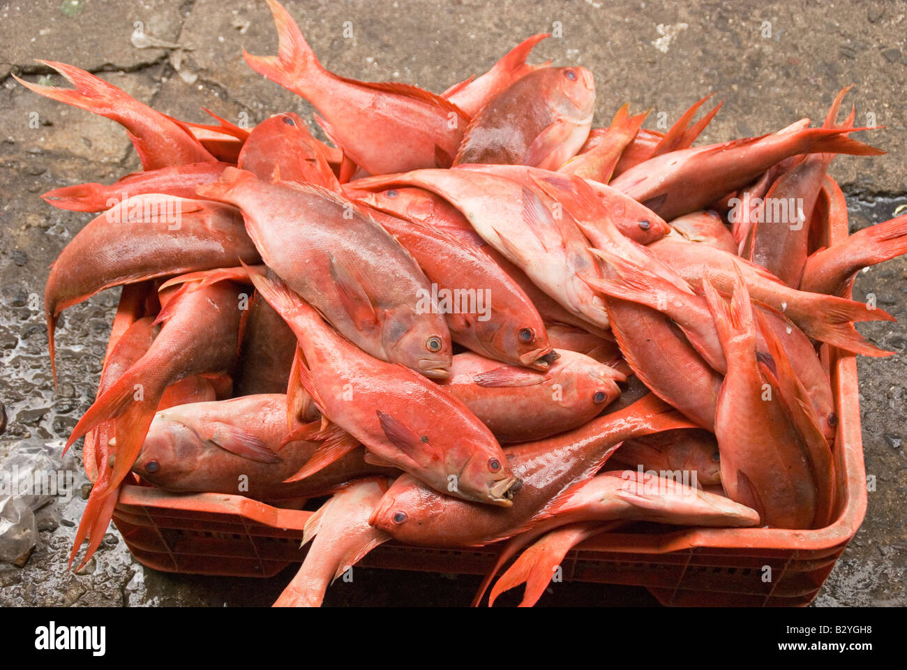 Fresh red fish for sale at the fish market in ensenada for Stock fish for sale