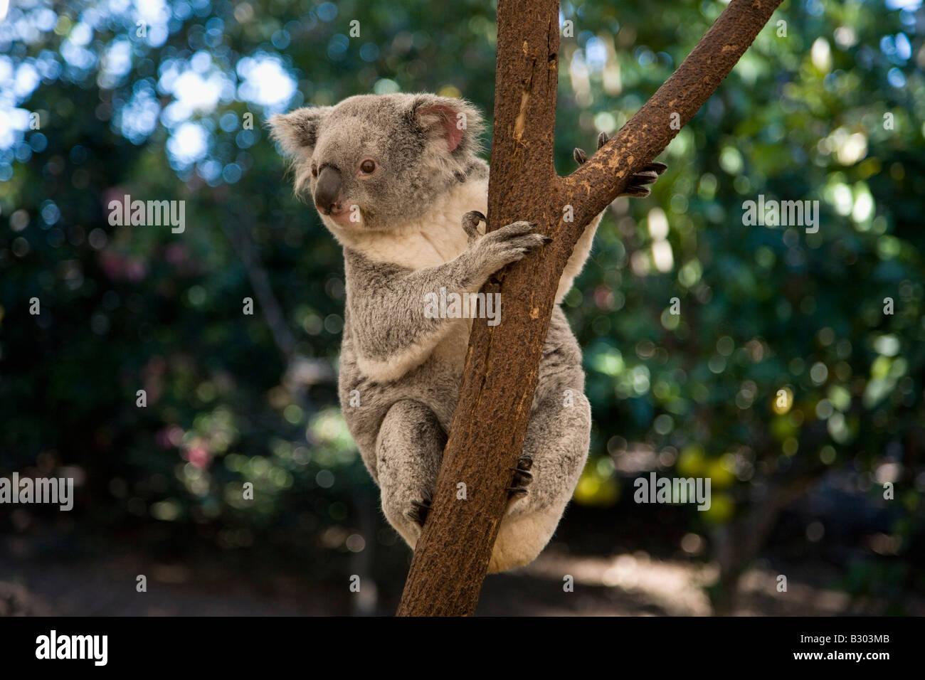 koala lone pine koala sanctuary brisbane queensland australia
