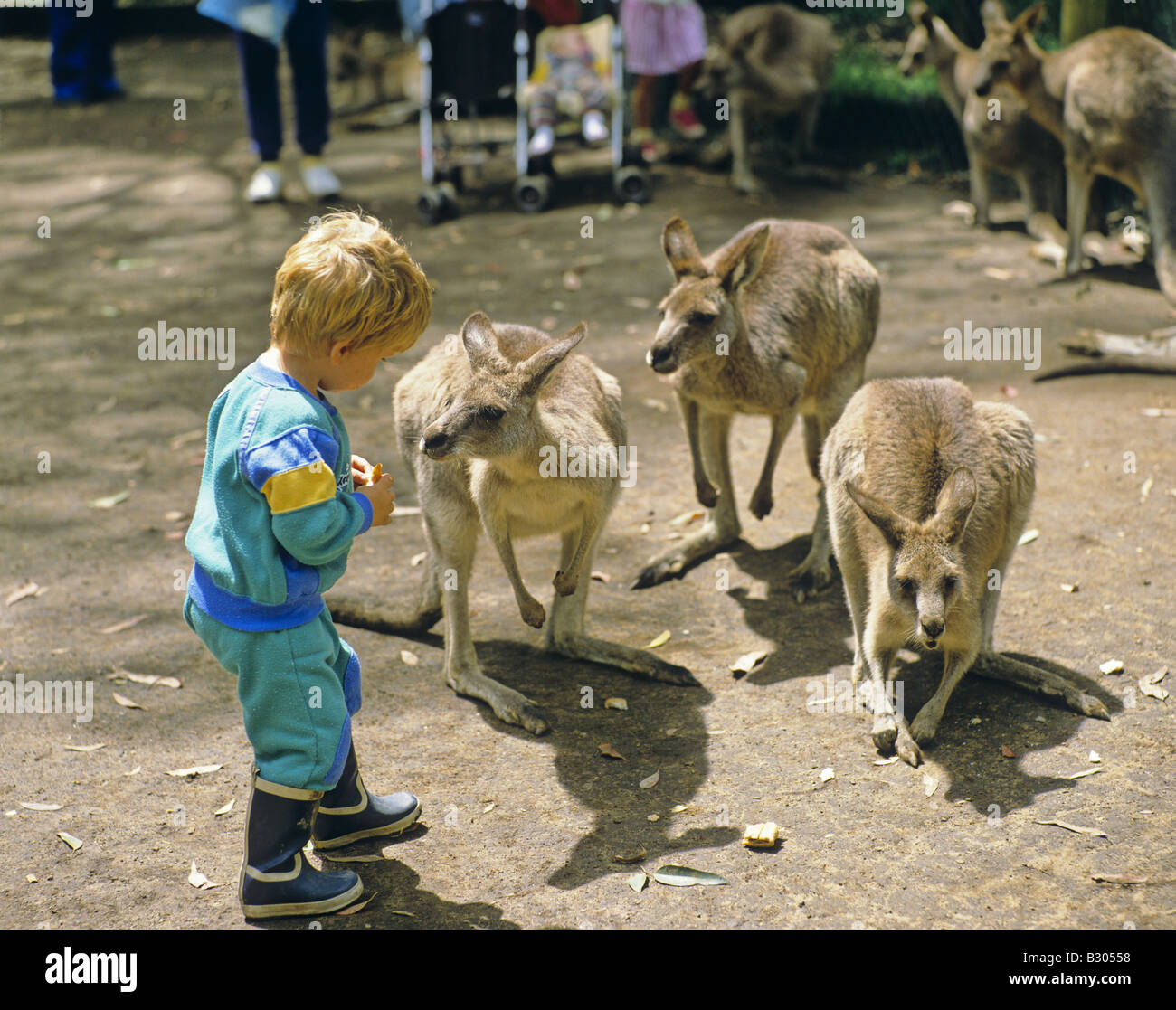 kangaroos and a boy at the koala park sydney new south. Black Bedroom Furniture Sets. Home Design Ideas
