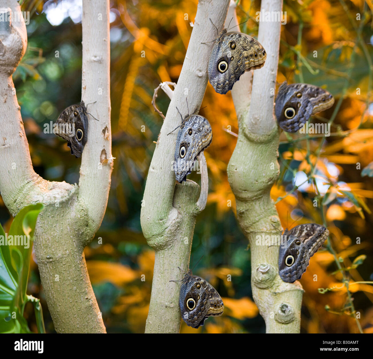 Giant Owl Butterflies, Victoria Butterfly Gardens, Brentwood Bay, British  Columbia, Canada