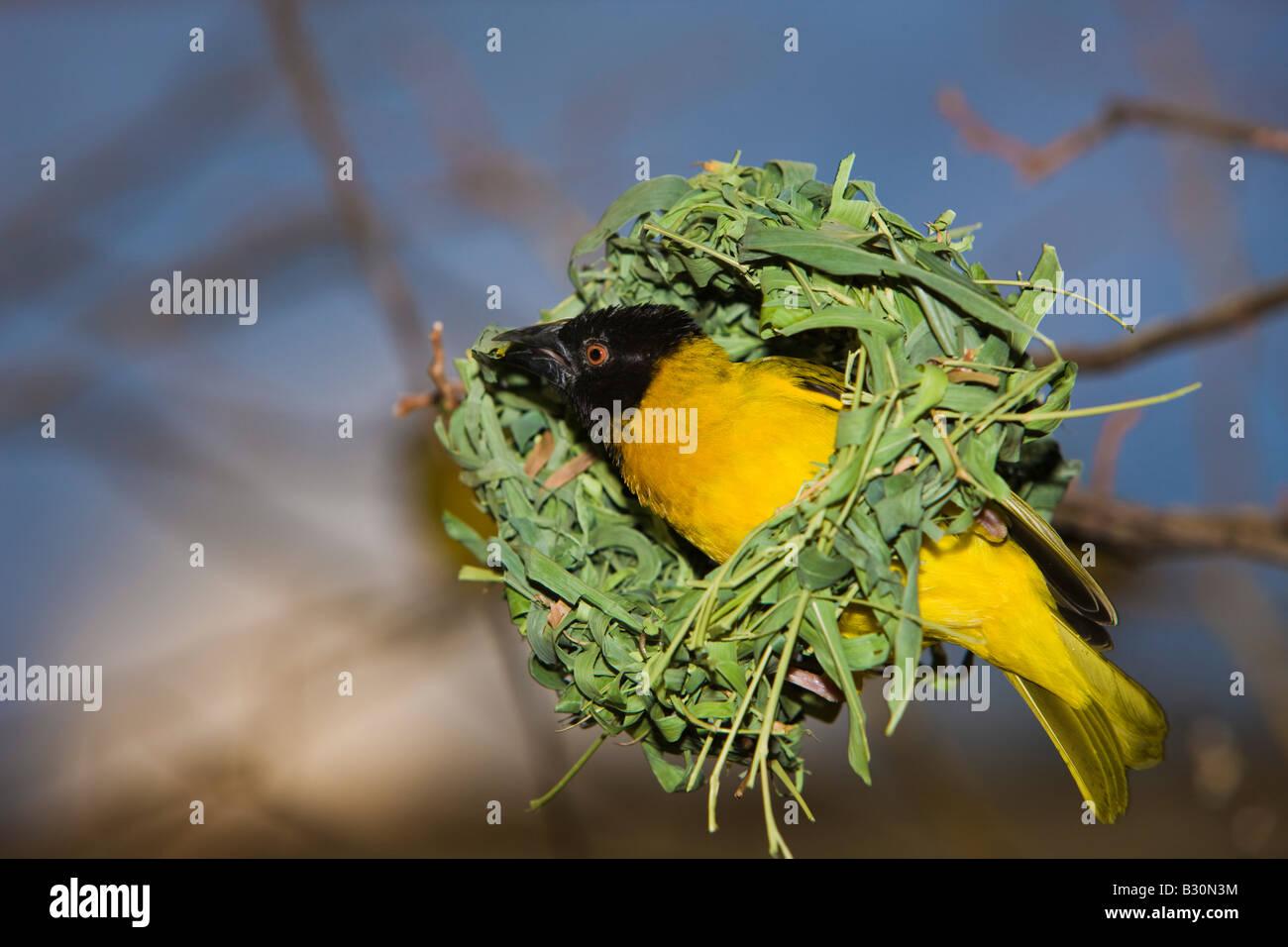 http://c8.alamy.com/comp/B30N3M/vitelline-masked-weaver-textor-vitellinus-ploceus-vitellinus-tanzania-B30N3M.jpg