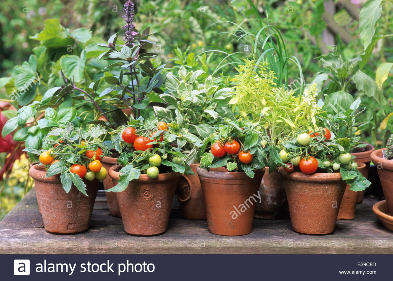 Pots of miniature dwarf tomatoes micro tom and mixed basils including stock photo royalty free - How to grow potted tomatoes ...