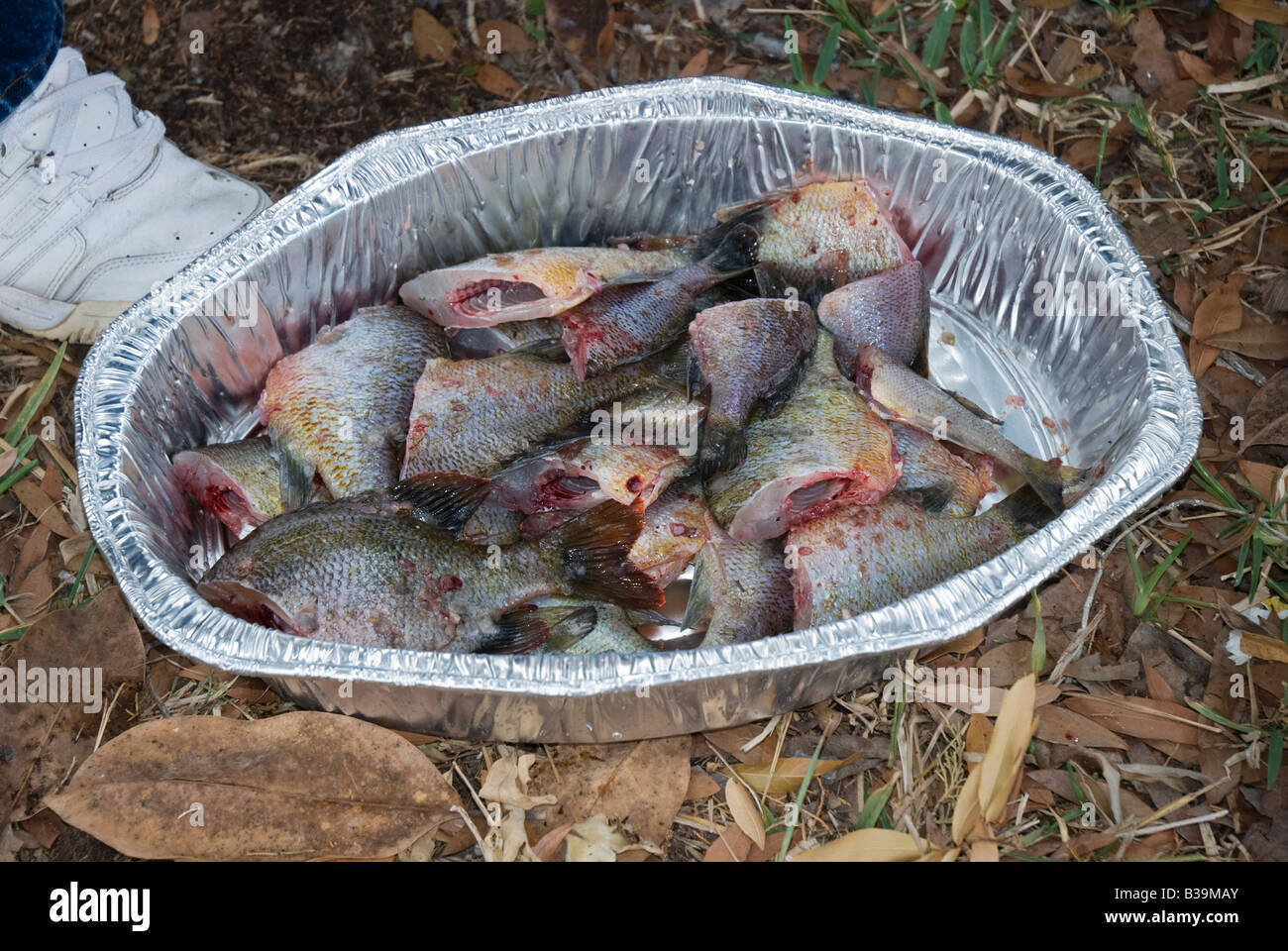 Freshwater fish of florida - Stock Photo Cleaned Fish Ready For Frying From Suwannee River North Florida
