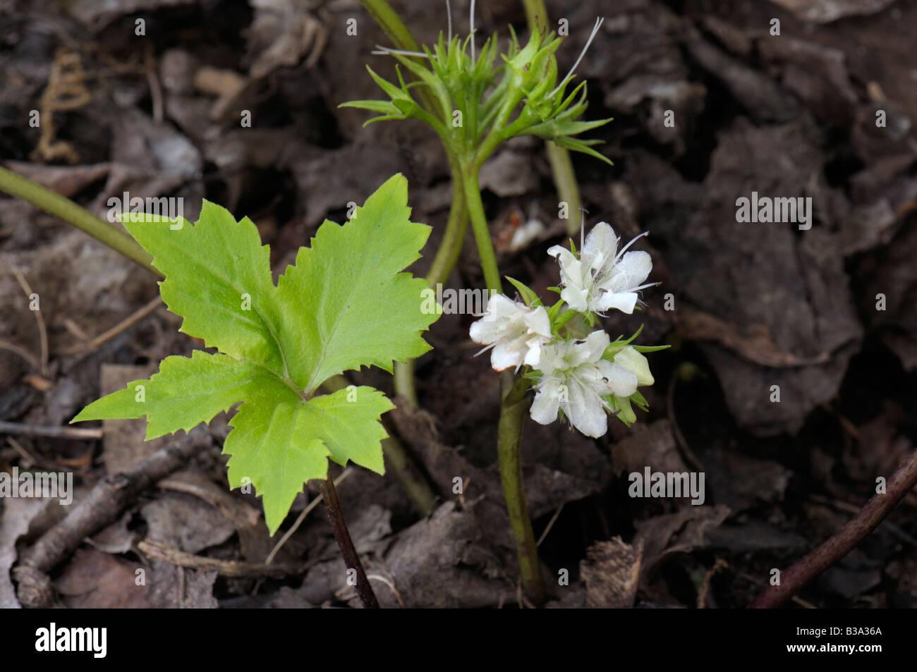 Podophyllum Mayapple