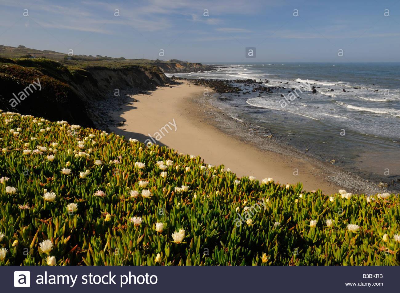 California san mateo county pescadero - Ice Plant In Bloom Along Pacific Coastline Beach At Pescadero State Beach San Mateo County Ca