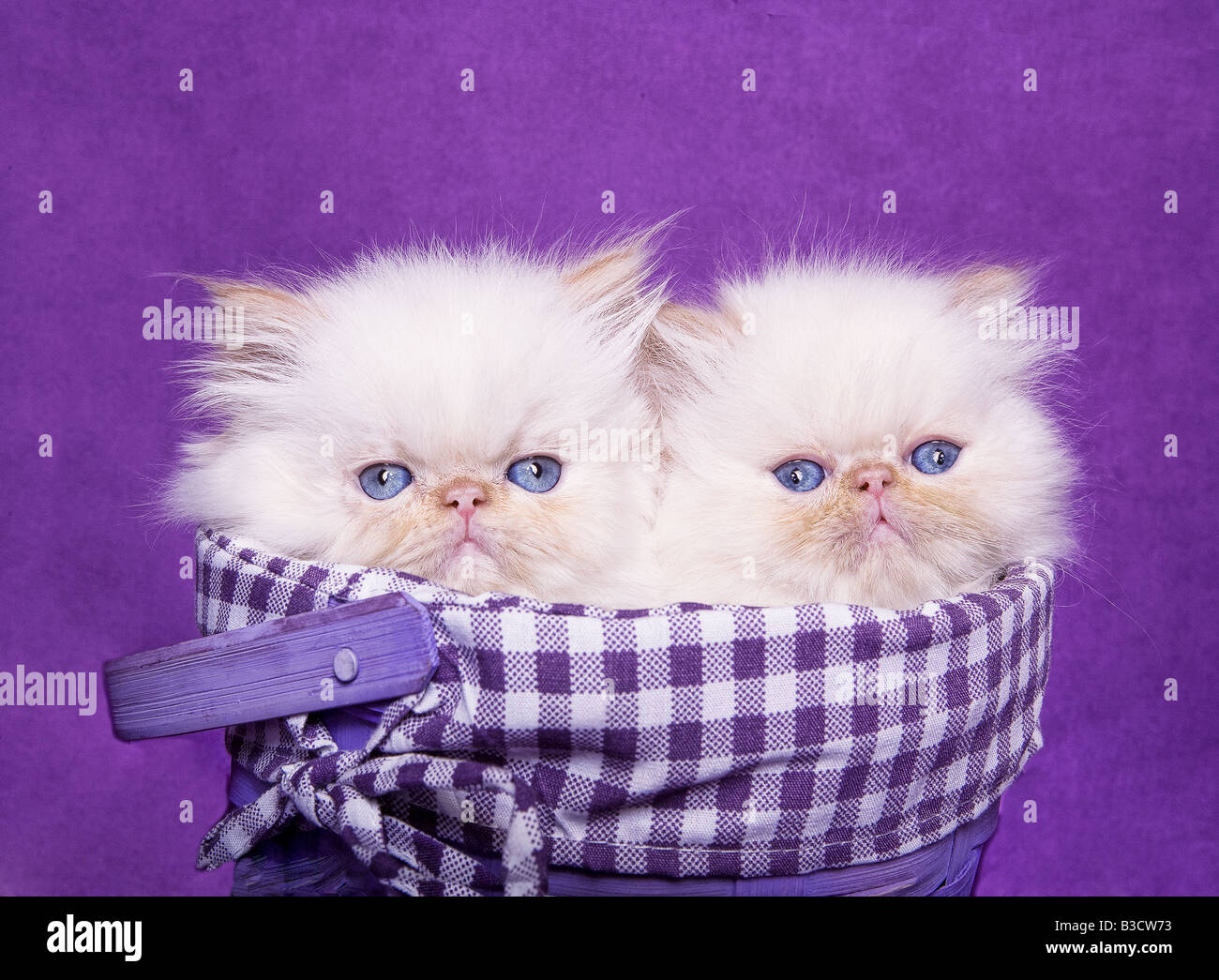 Two cute flame point Himalayan kittens in purple gingham ...