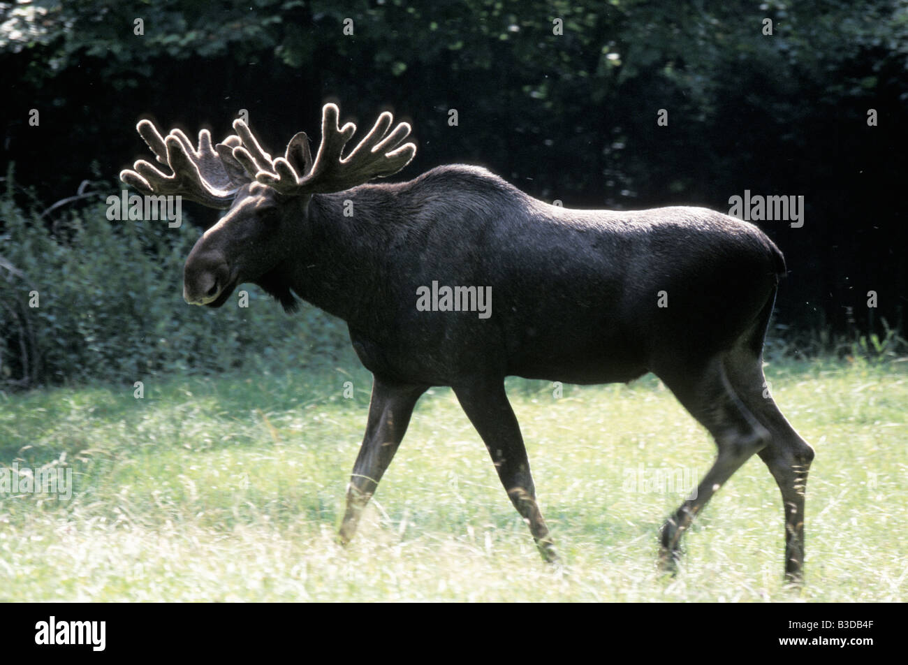 elan moose sweden alces alces adult animal animals cloven