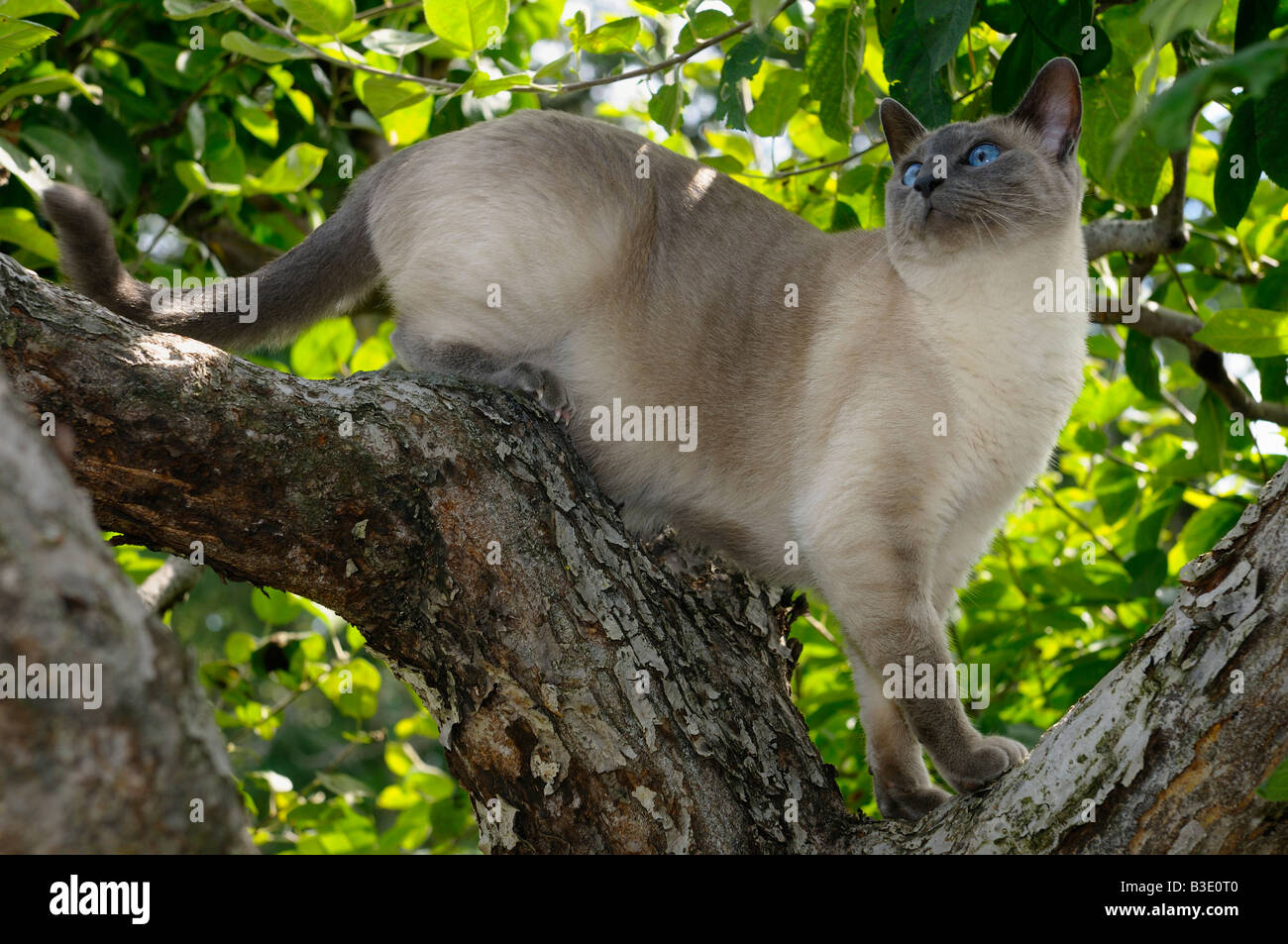 blue point siamese cat looking up while climbing an apple tree stock photo royalty free image. Black Bedroom Furniture Sets. Home Design Ideas